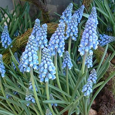 løgplanter med blå blomster